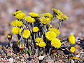 Coltsfoot herb