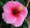HIBISCUS FLOWERS Tea
