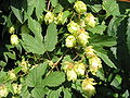 HOPS FLOWERS WHOLE