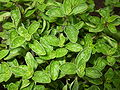 oregano leaf rubed